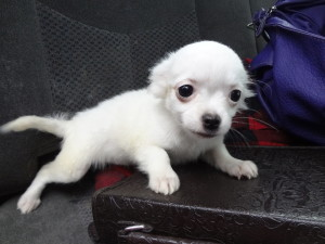 Chihuahua white female <a href='http://topqualitydogsblog.com/Tips/puppy'>puppy</a>